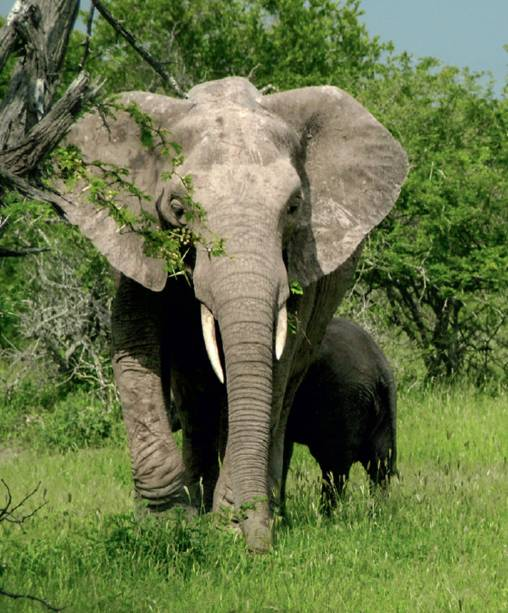 Elefante do Kruger