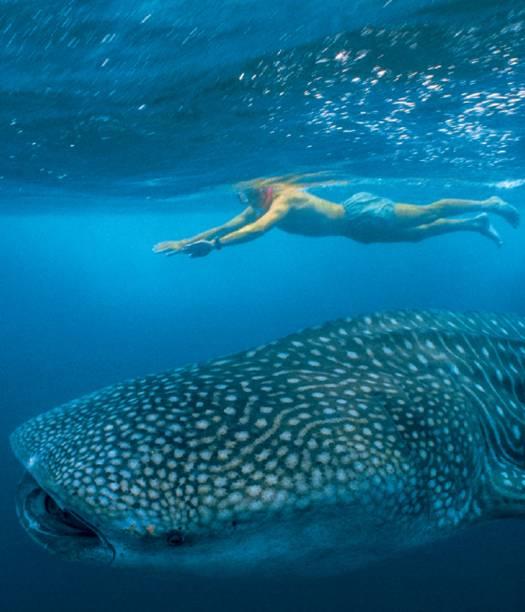 Tubarões-baleia em Tofo