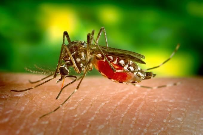 Mosquito Aedes aegypti transmissor doenças dengue febre amarela cartao de vacinacao internacional