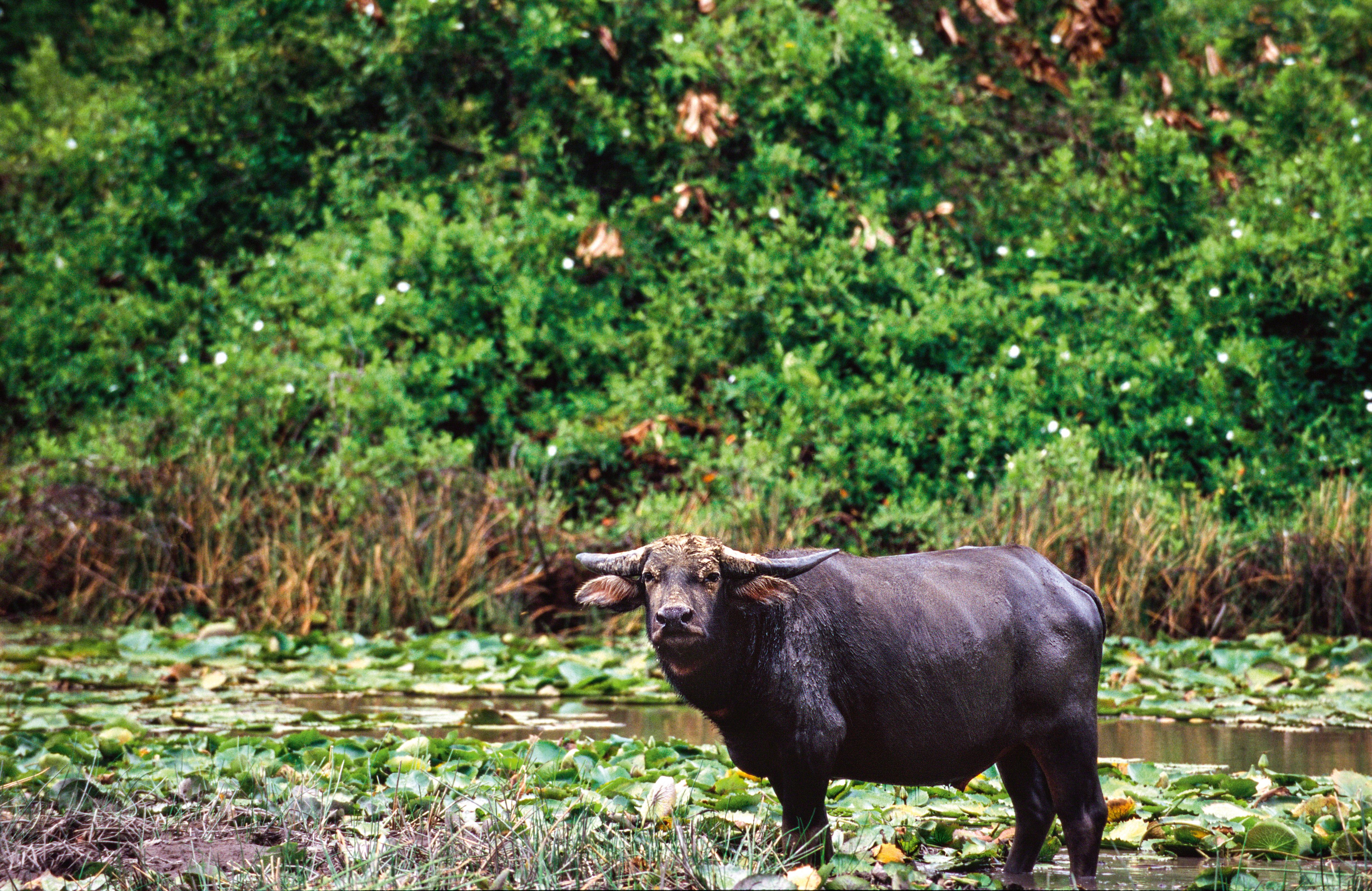 Um búfalo encara a câmera, cercado pela vegetação de manguezal