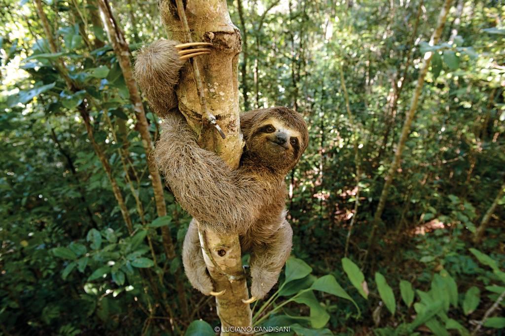 Um bicho-preguiça olhando para a câmera, esalando verticalmente um tronco não muito grosso de árvore em meio à mata