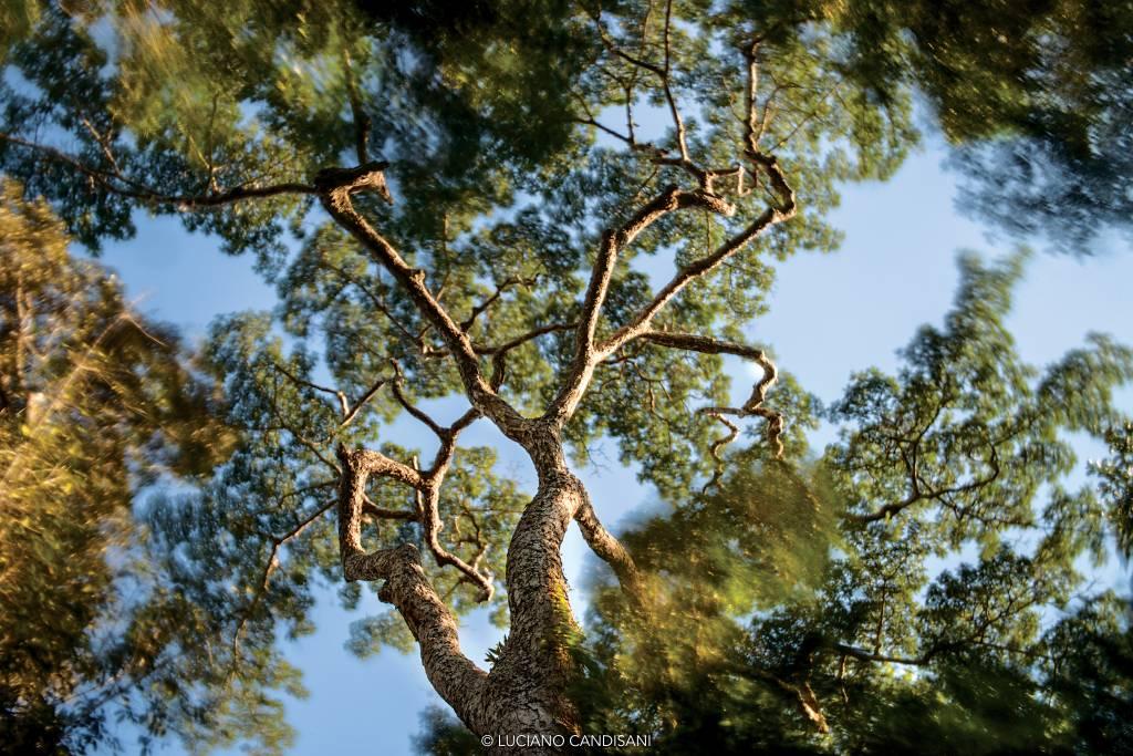 Árvore vista de baixo, com as folhagens das árvores ao redor borradas