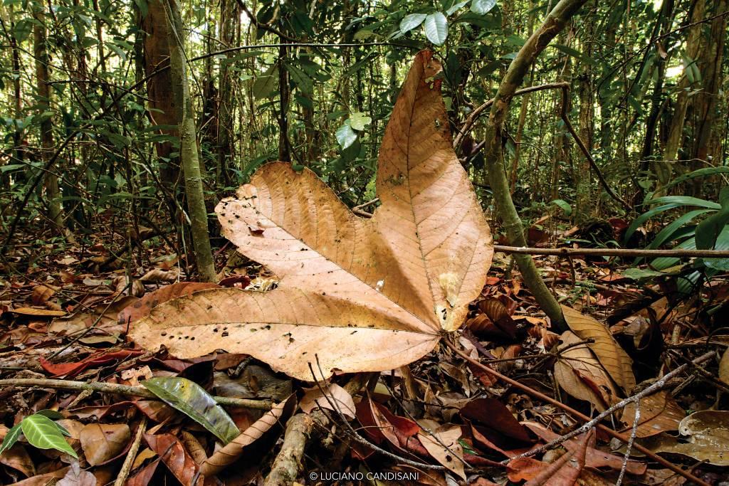 Folha seca de três pontas do tamanho de uma mão em primeiro plano, com densa floresta tropical atrás e ao redor