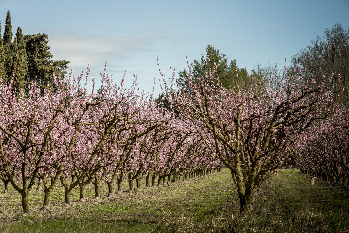 Pessegueiros em flor: parte da paisagem