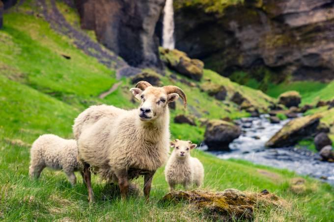 Ovelhas com dois filhotes em campo com cachoeira ao fundo na Islandia, norte da Europa