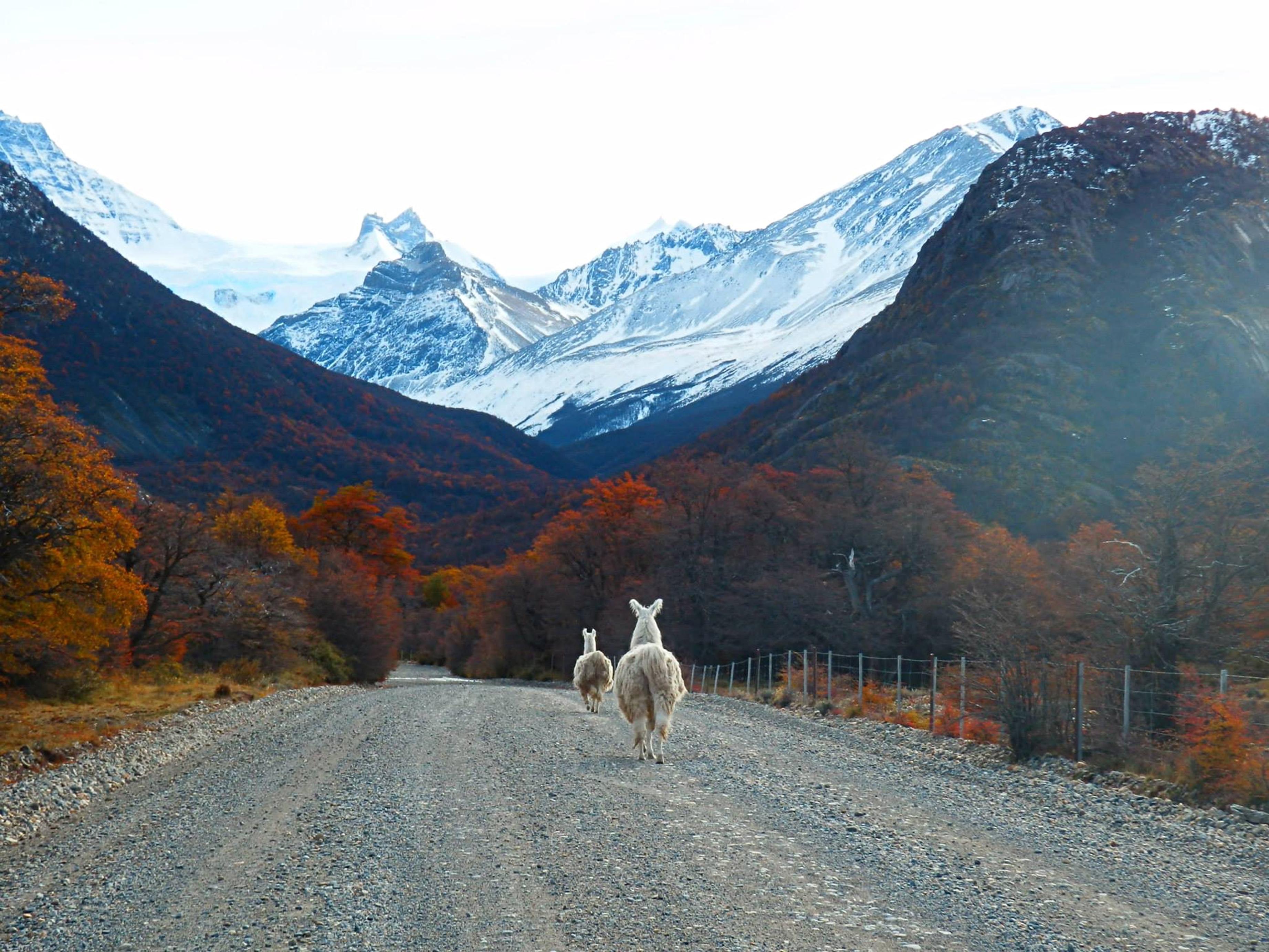 Guanacos passeando por um outonal Parque Nacional Tierra del Fuego.