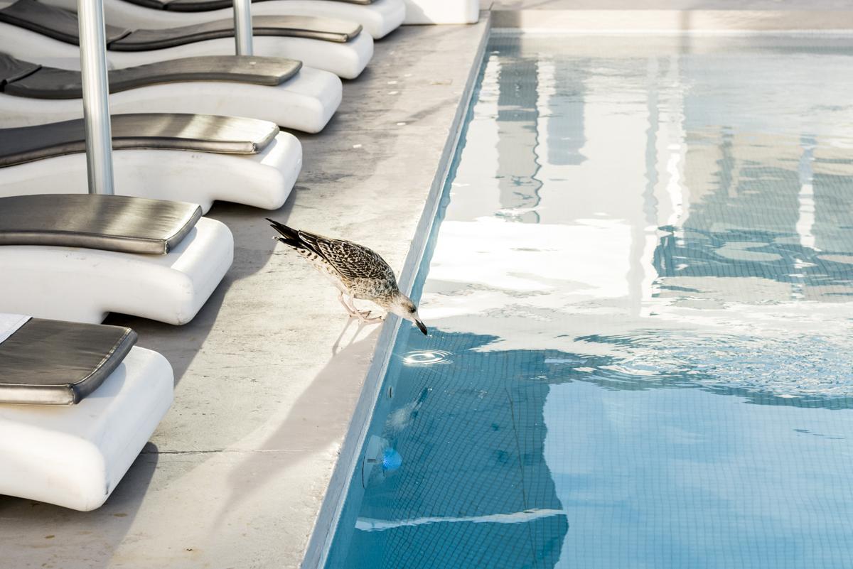 Vai um golinho ai? Até a gaivota confunde o que é mar, o que é piscina