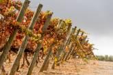 Os vinhedos da Quina de Valbom, nos arredores de Évora, onde acontece a bebida: coloridos pelo outono