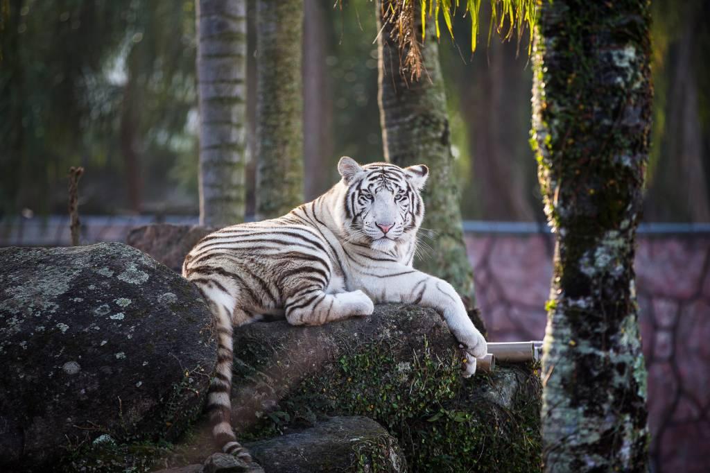 Tigre Branco no zoológico do Beto Carrero World