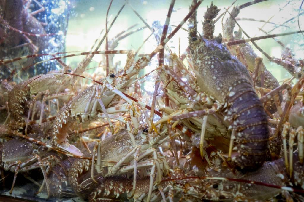 Aquário de lagostas: decoração da casa, ao lado de painéis de azulejos da Viúva Lamego