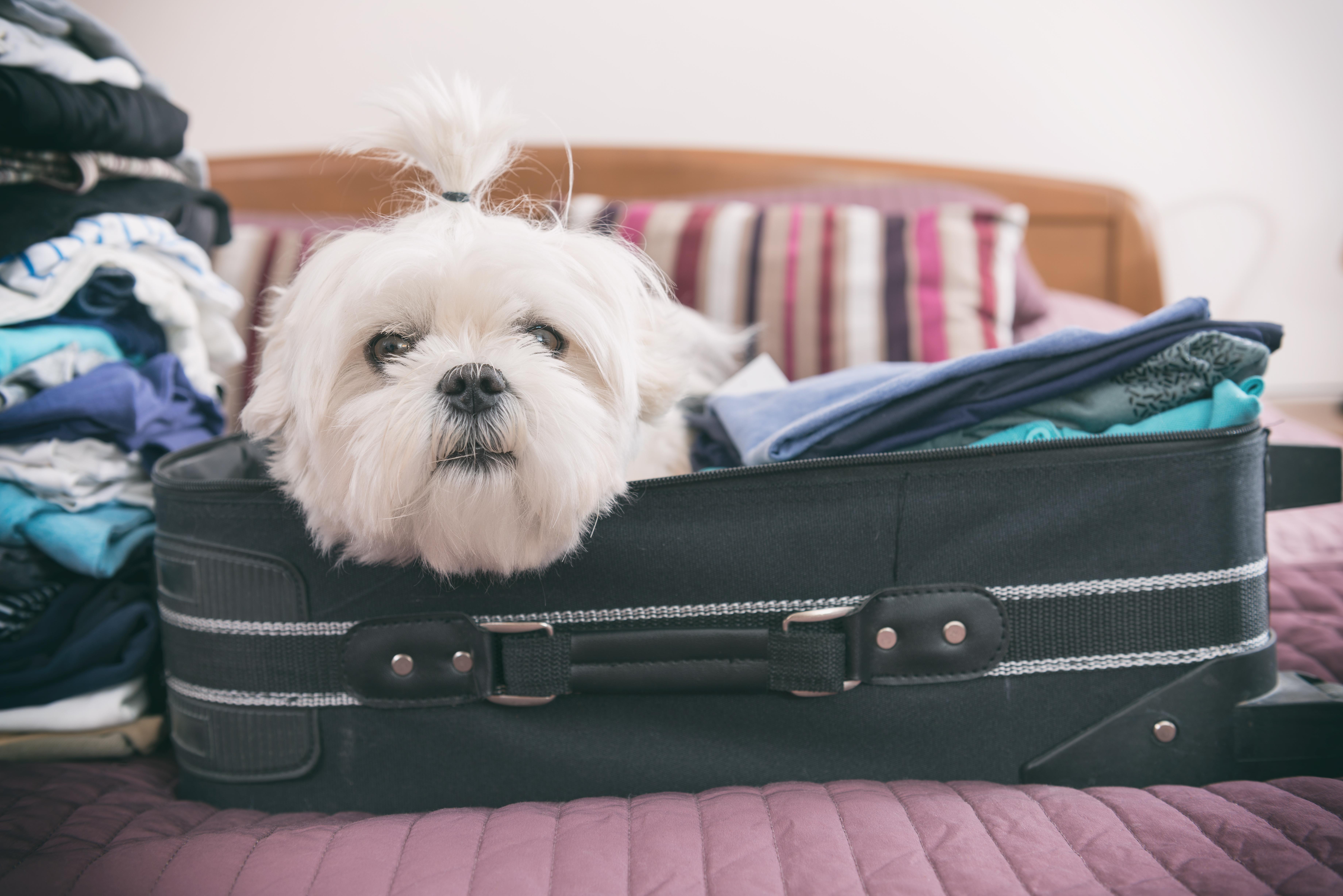 Cachorro em mala - viagem com animais