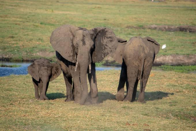 Elefantes Chobe