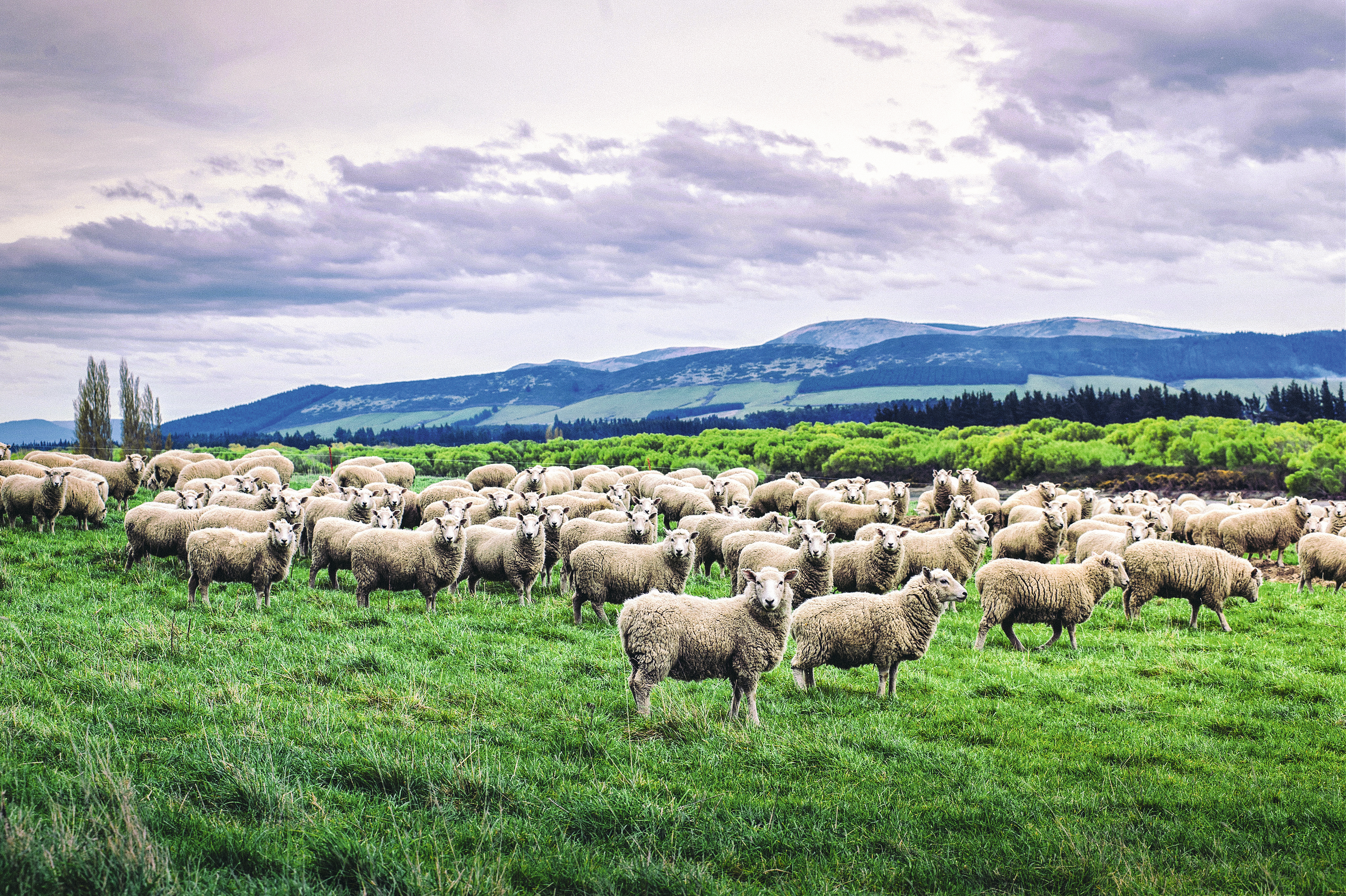 Ovelhas na Nova Zelândia