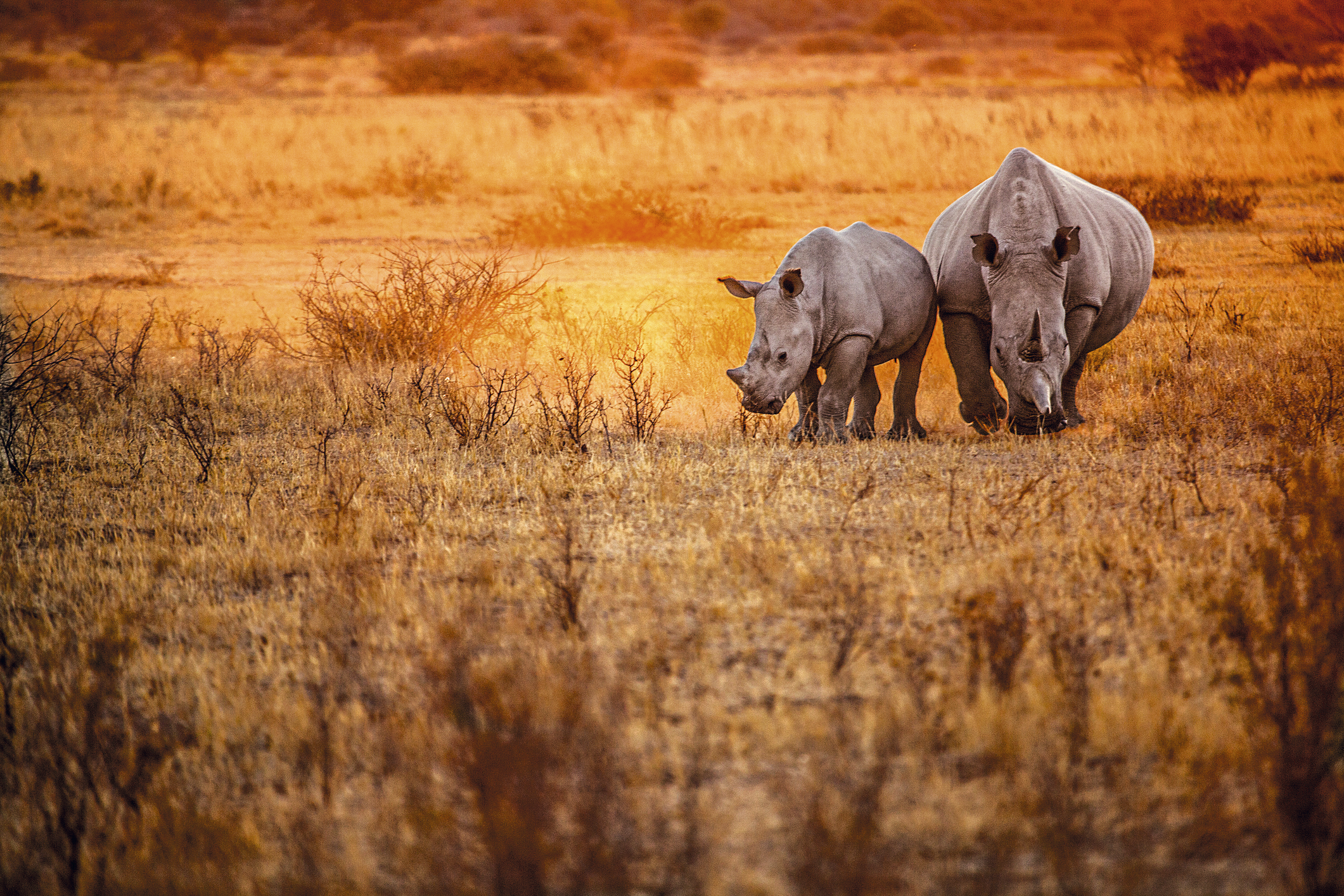 Rinocerontes nos arredores de Windhoek, capital da Namíbia