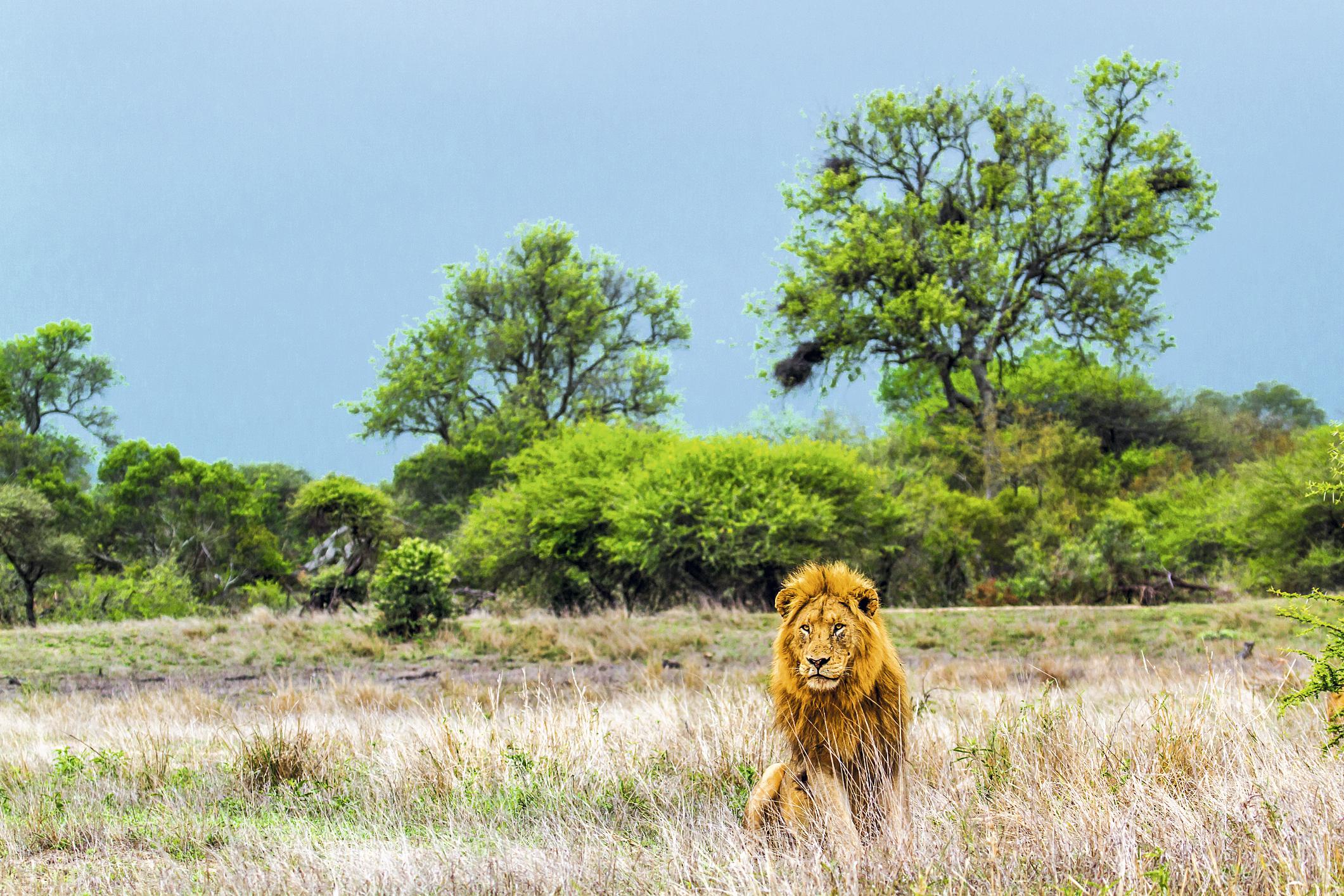 Leão no Nacional Kruger Park, África do Sul