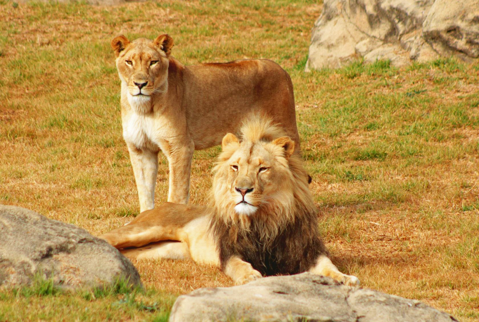 Casal de leões no O casal Auggie e Sabi no The Johannesburg Zoo, África do Sul