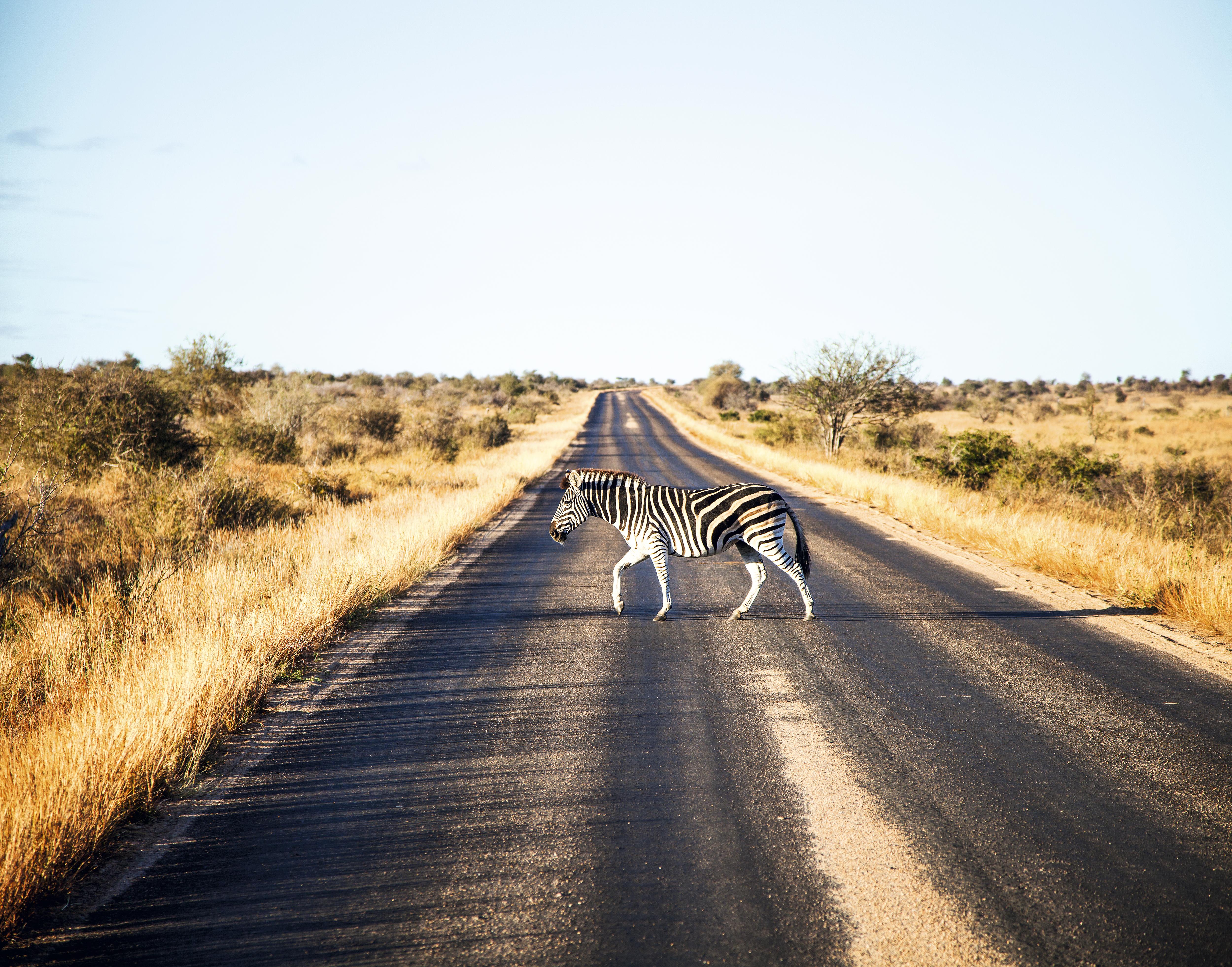 Zebra na pista do Kruger National Park, África do Sul