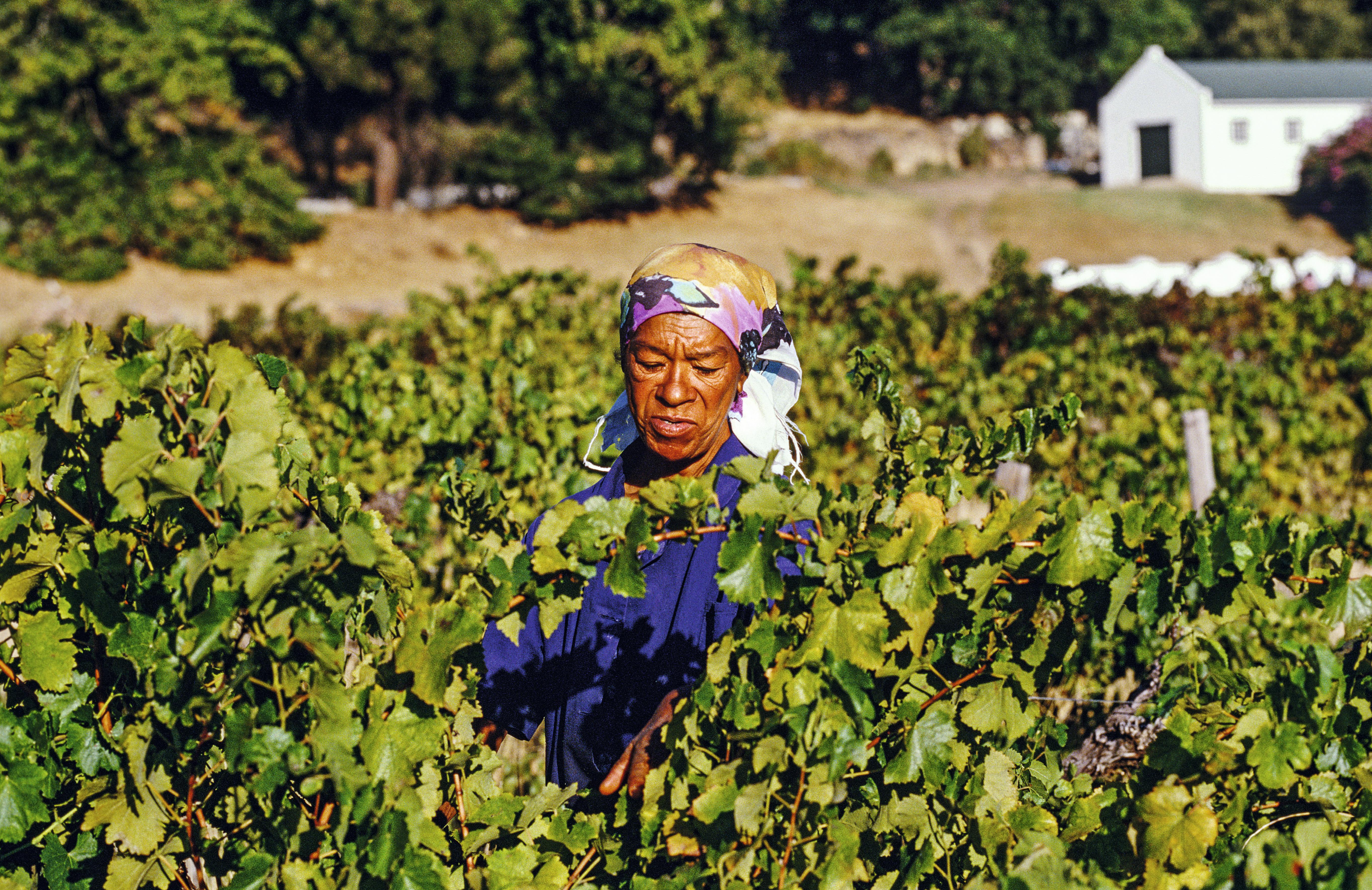 Colheita em vinícola de Franschhoek, África do Sul