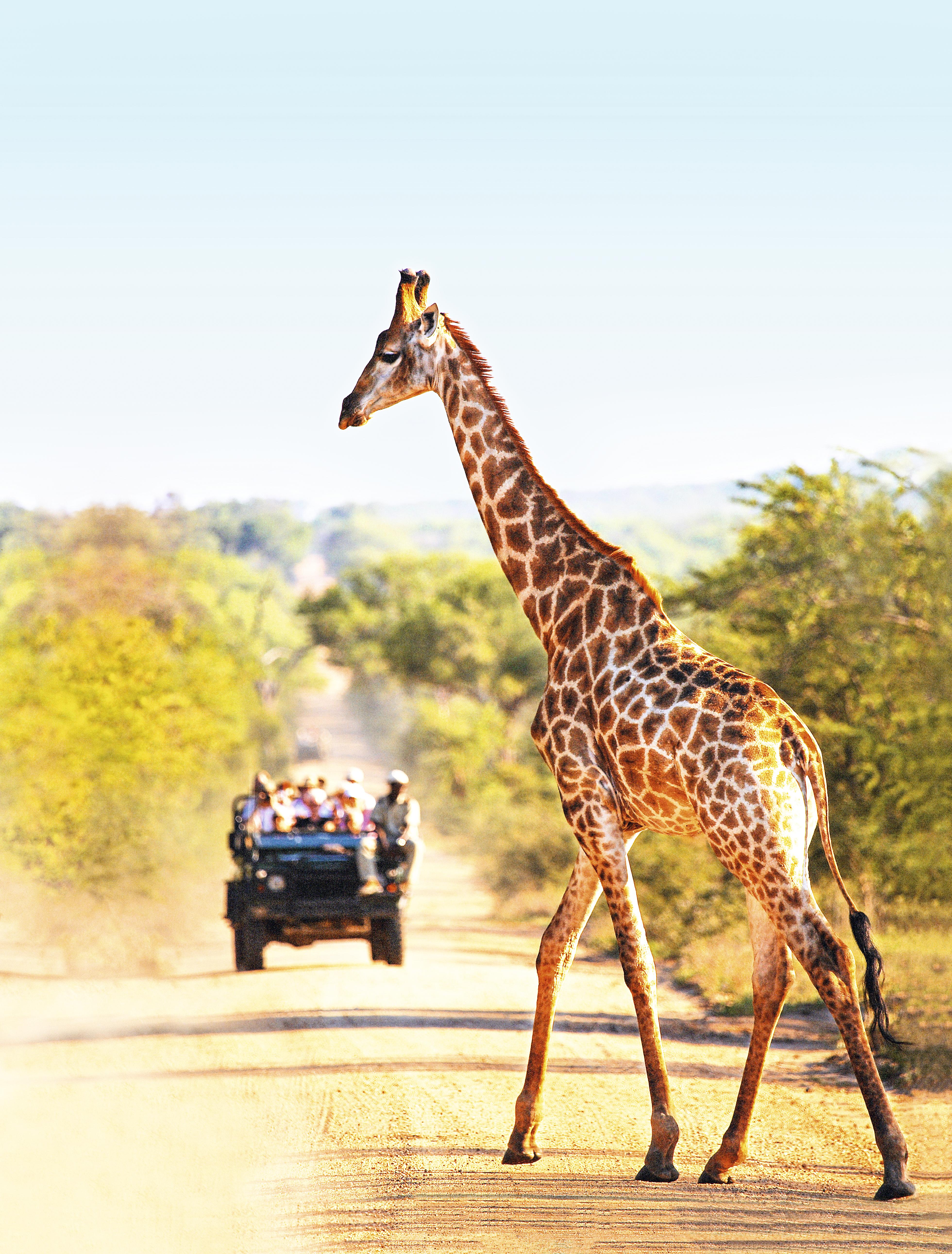 Girafa no Kruger National Park, África do Sul