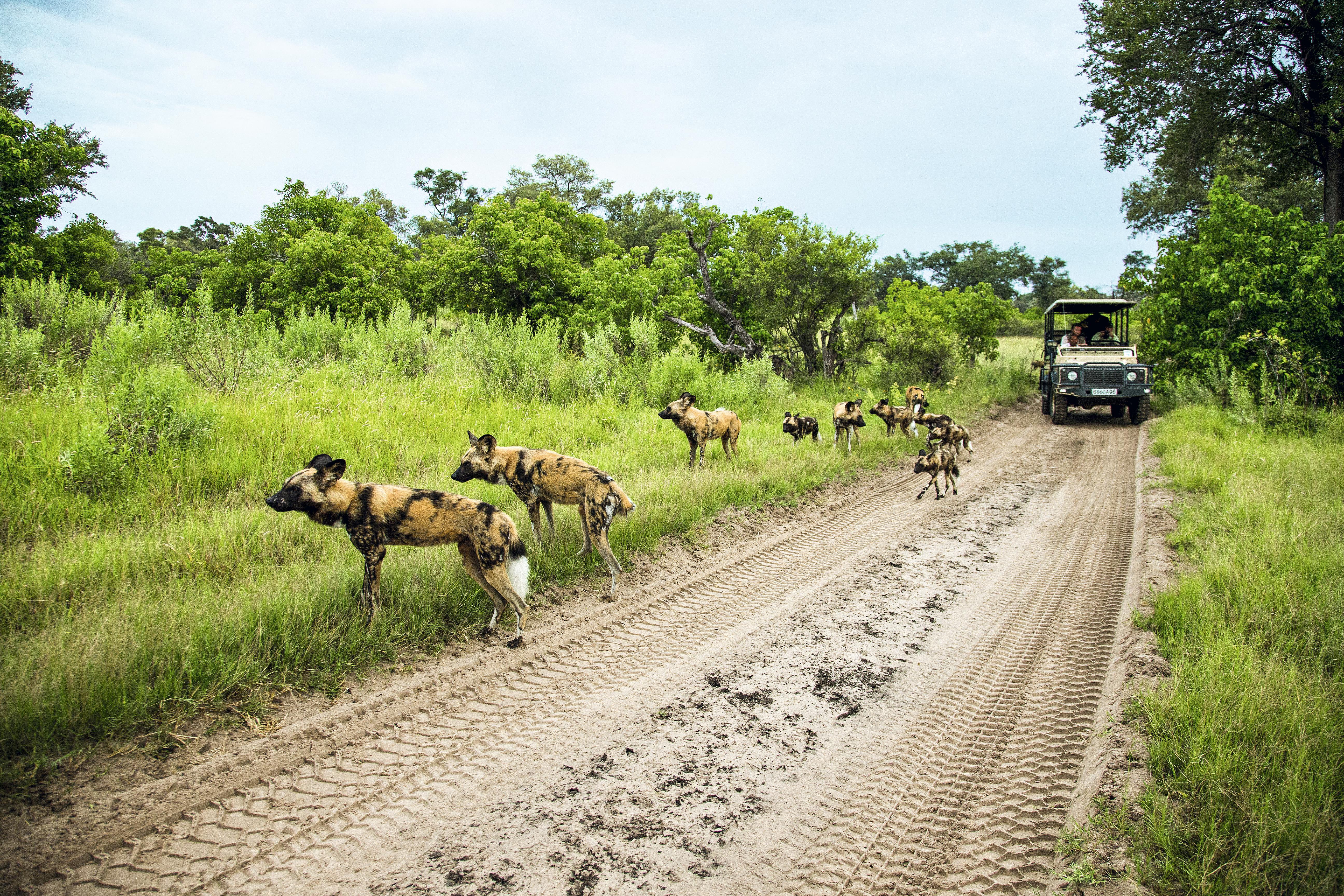 Mabecos no Kruger National Park, África do Sul