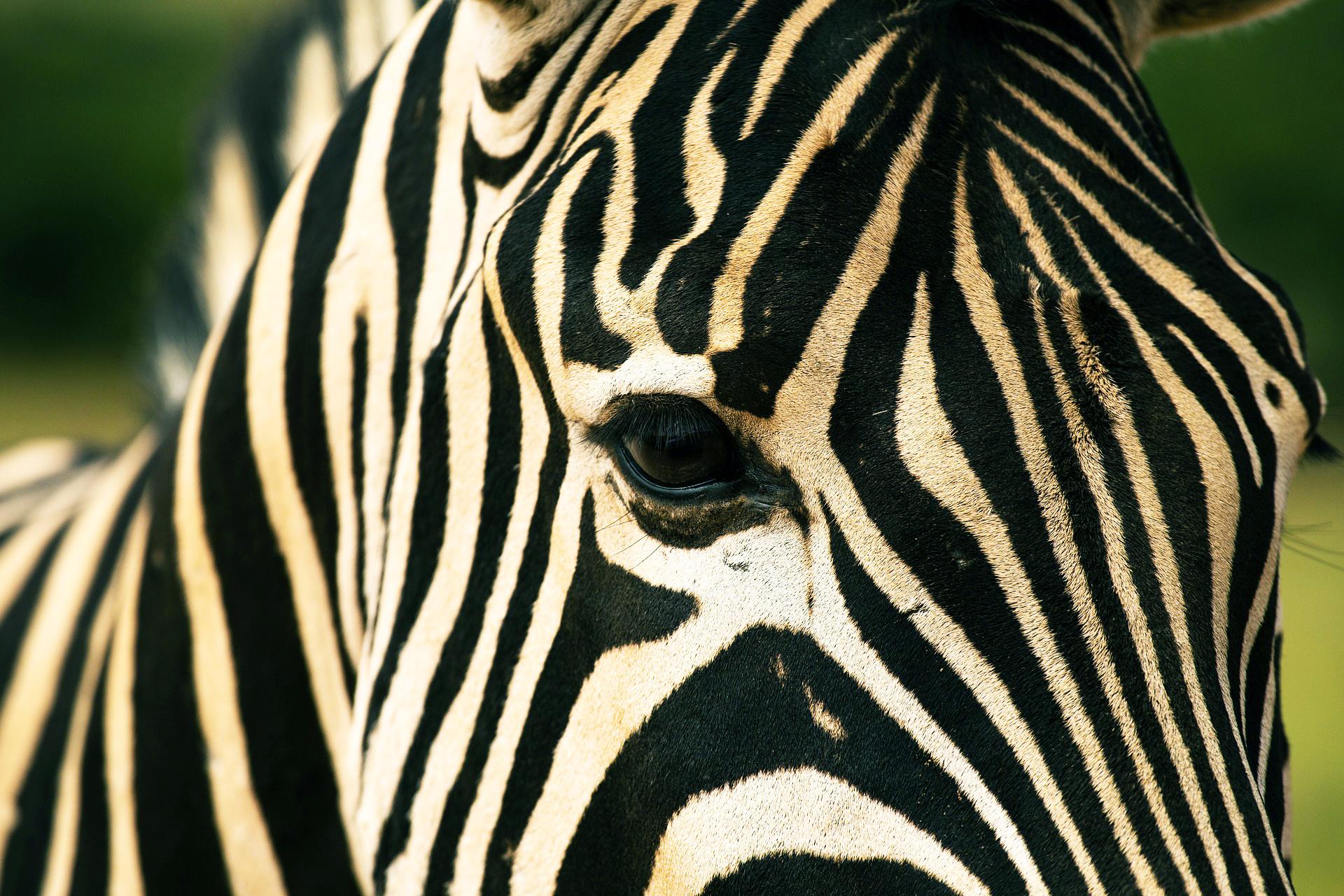 Zebra do Addo Elephant Park, África do Sul