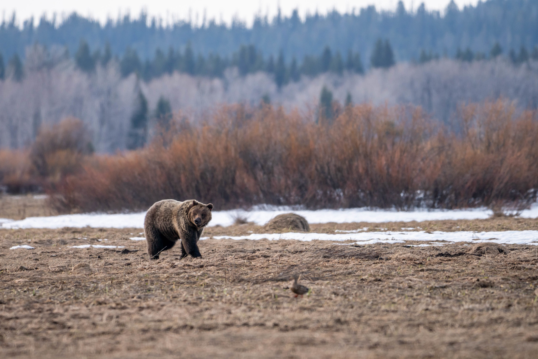 Ursos (e placas para evitá-los) são bastante comuns no Grand Teton