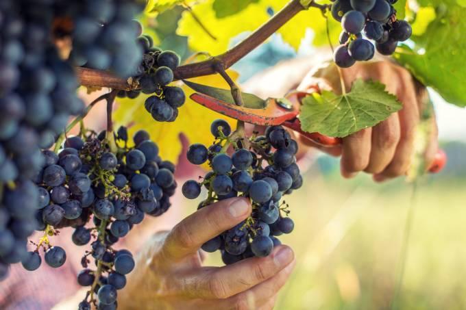 Colheita de uva
