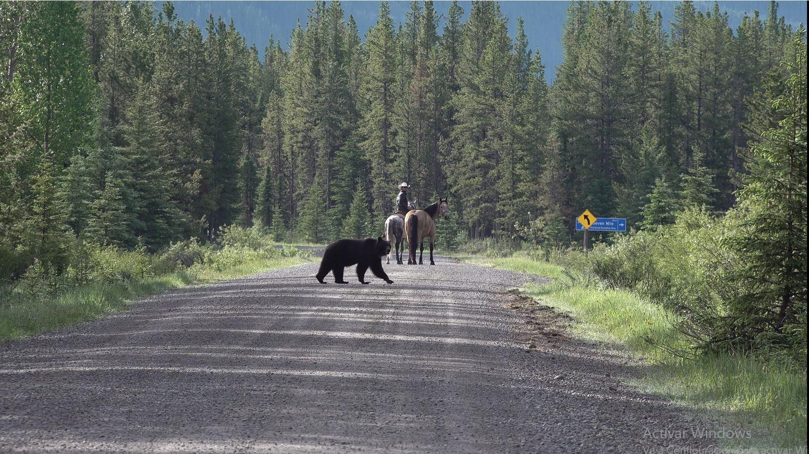 Um dos encontros de Filipe com ursos-pardos no caminho