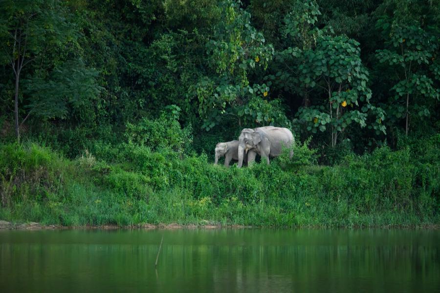 Elefantes Asiáticos no Parque Nacionald e Kaeng Krachan, na Tailândia