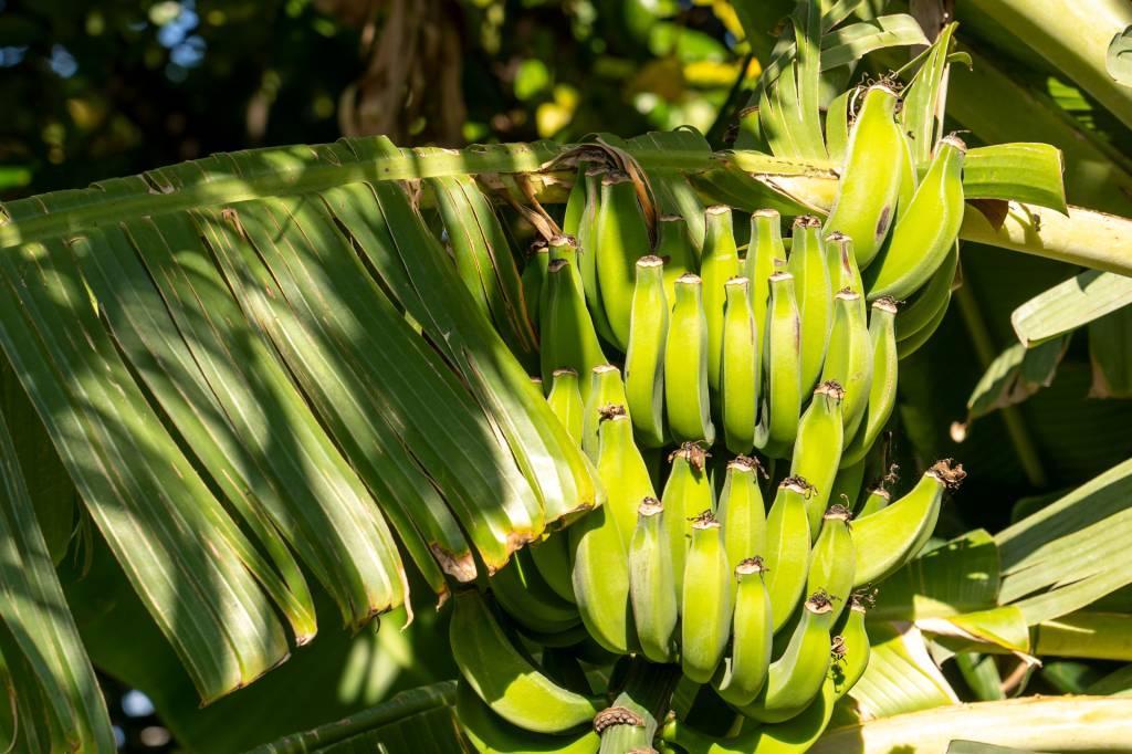 Um cacho de bananas verdes pendurado na árvore